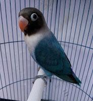 Burung Lovebird Cobalt