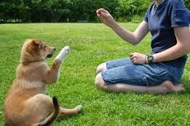 Cara Melatih Anjing Sendiri Tanpa Bantuan Pelatih Info Pets