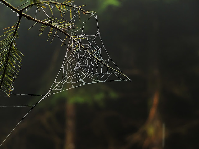 A triangular spider web hanging on a conifer tree in a forest.