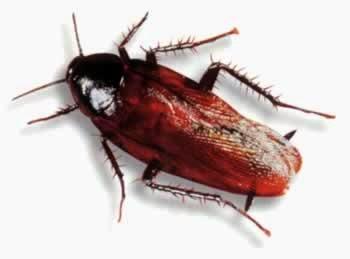 Cockroach Control Sydey