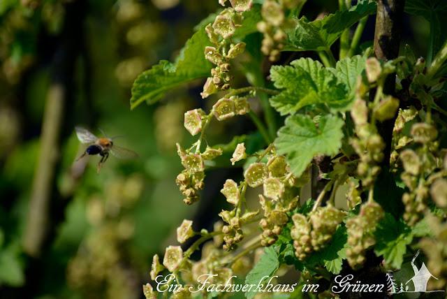 Bienen im April, Johannisbeerstrauch