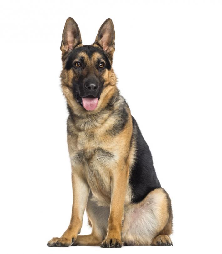 Dressage berger allemand | Comment dresser votre chien?