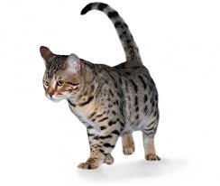 Kucing Cheetoh dan Karakteristiknya