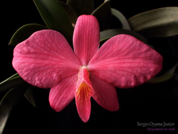 MIni-orquídea Sophronitis wittigiana