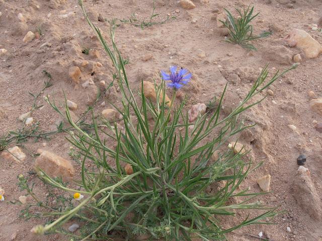 AZULEJO-Centaurea-cyanus