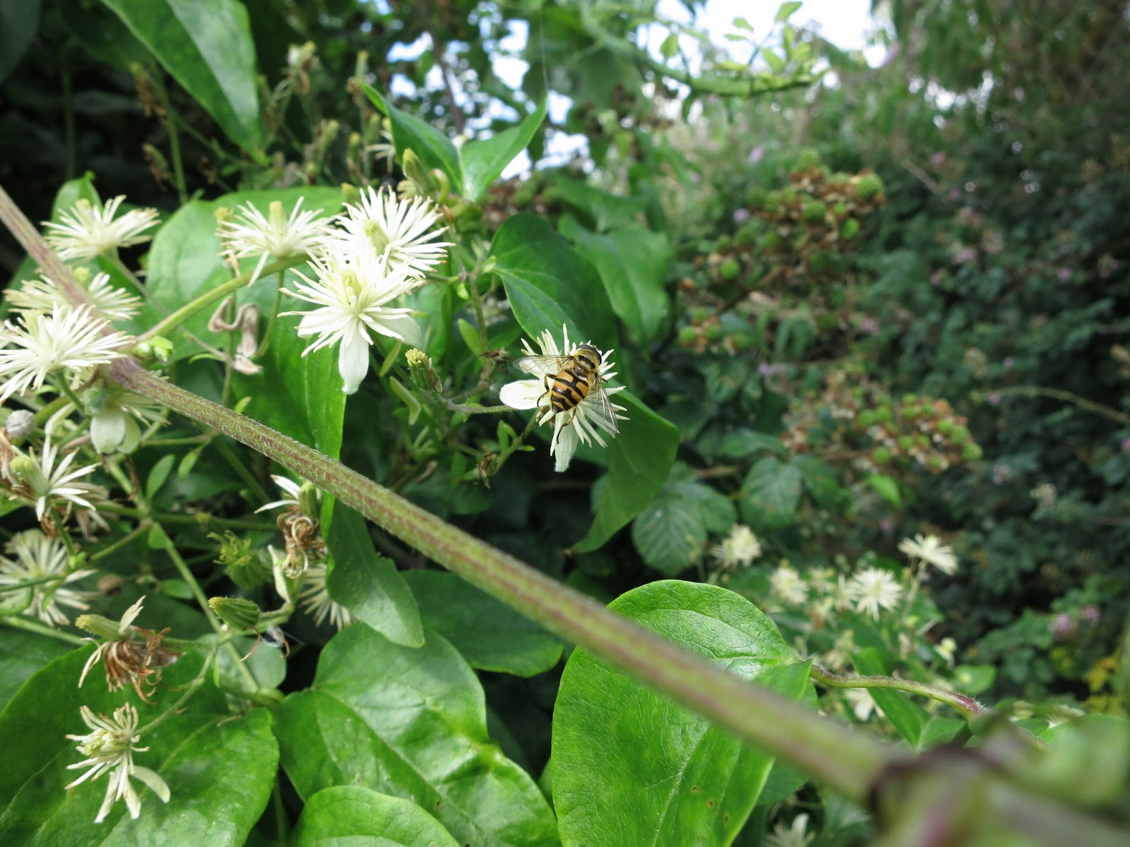 Wild Clematis flowers (Traveller's Joy) with hoverfly