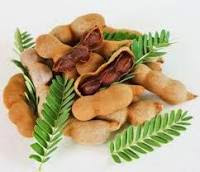 Tamarind Tree/ Tamarindusindica [The Medical Plant]