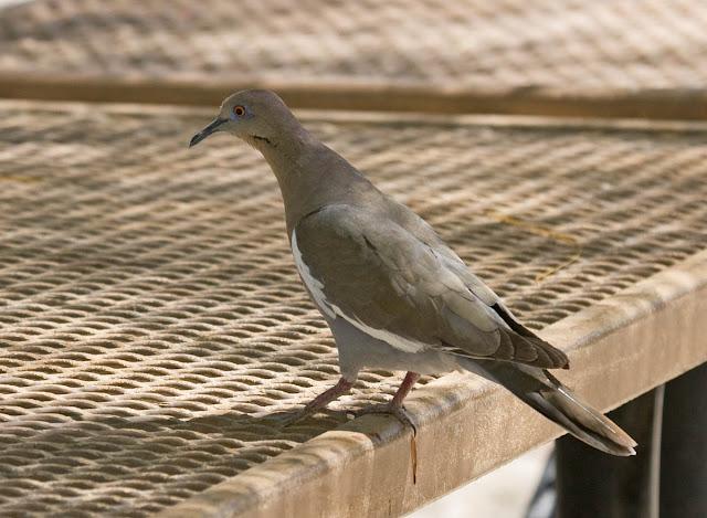 White-winged Dove Agua Caliente Park.