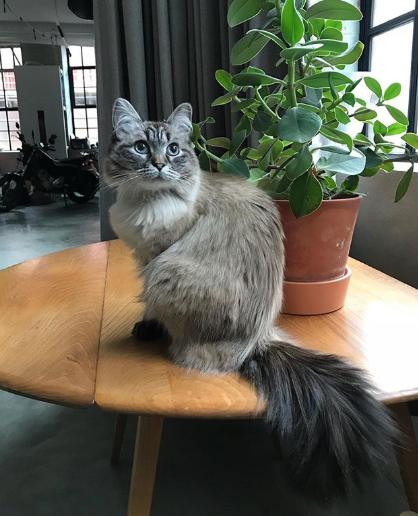 Smoke Grey Siberian Cat