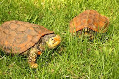 Habitat & Karakteristik kura-kura Yuwonoi