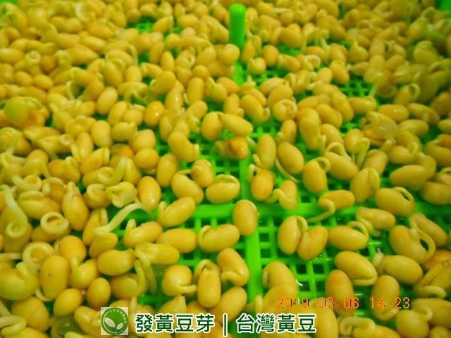 黃豆,黃豆發芽教學,台灣黃豆,涼拌黃豆芽,種黃豆,催芽黃豆,美國有機黃豆,發芽黃豆豆漿,發黃豆芽,黃豆芽