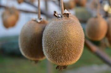 Manfaat sehat buah kiwi untuk diabetes dan hipertensi 15 Manfaat Sehat Buah Kiwi Untuk Penderita Diabetes Dan Hipertensi