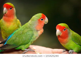 Ide bisnis kreatif dari hobi burung lovebird