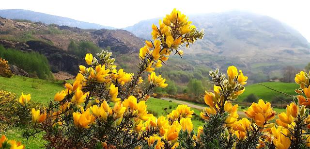 Vertaistuki, blogi, ulkomailla asuminen, irlanti, vuoristo irlanti, keltainen kukka