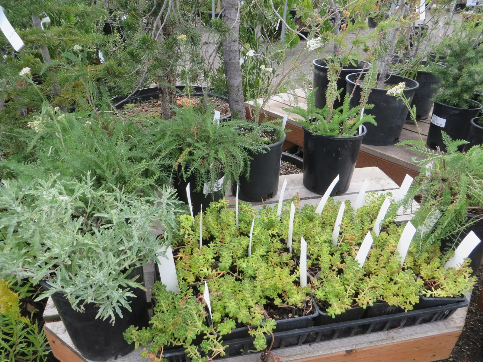 Juncus Patens And Lots Of Sun Perennials This Whole Island Plants Is New To The Native Area I Like It Good Job Portland Nursery