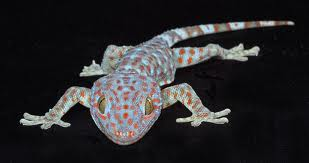 we are buying at a high price for your tokay gecko
