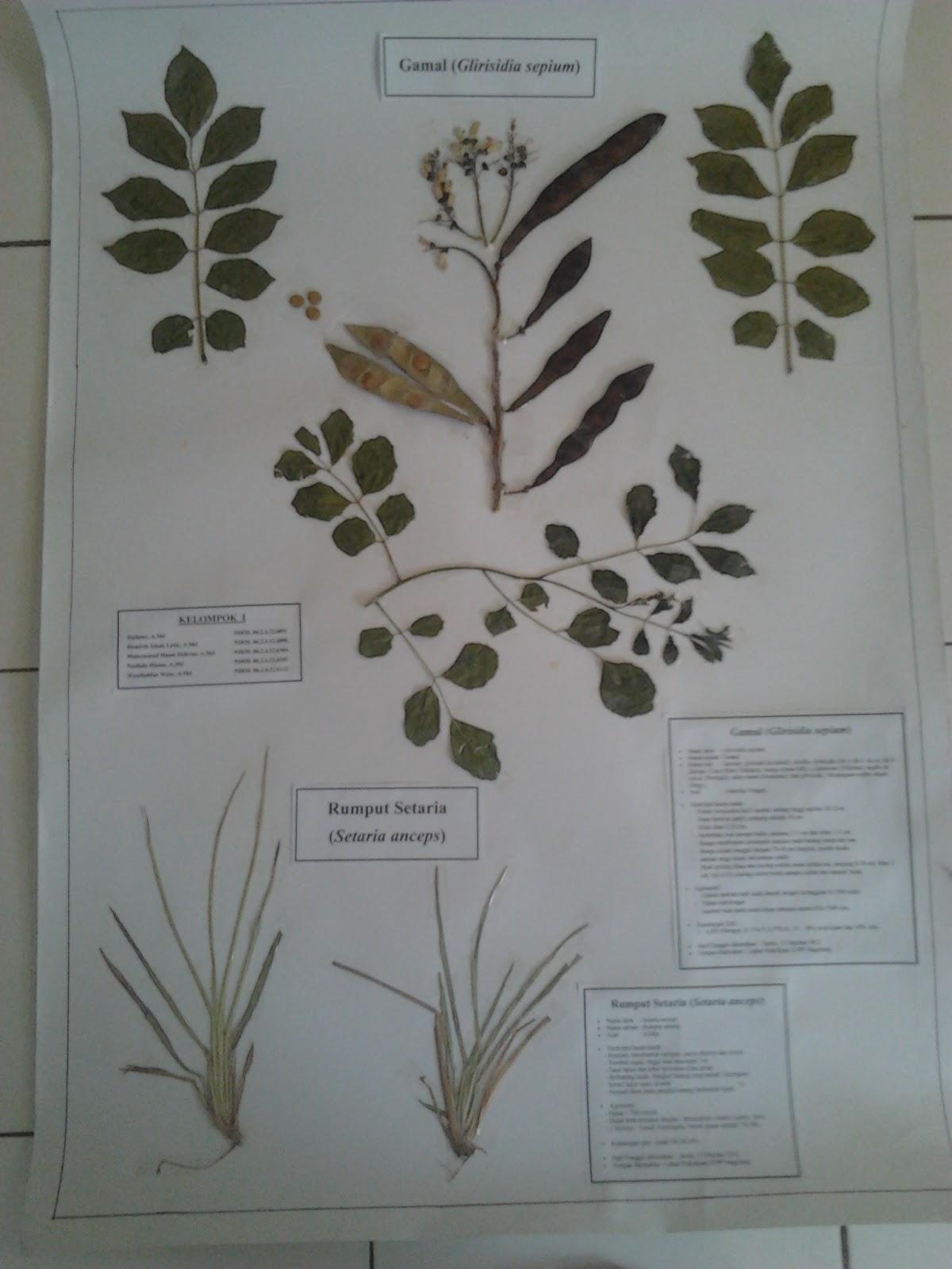 Jejak Penyuluh Cara Membuat Herbarium