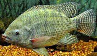 cara pembesaran ikan nila di kolam beton,cara pembesaran ikan nila di kolam terpal,cara pembesaran ikan nila di kolam tanah,pembesaran ikan nila merah,makalah pembesaran ikan nila,