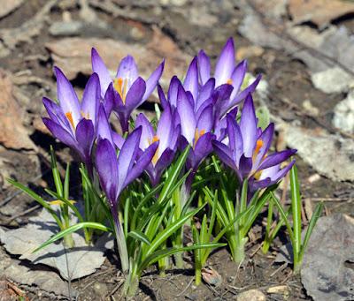 purple spring bulb