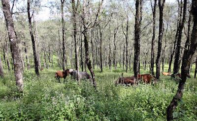 Kuda-kuda di hutan Fatu Nausus