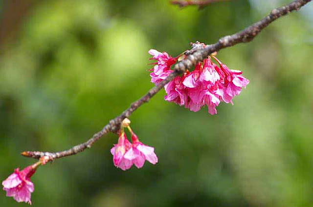 pink blossoms, flowers, vertical composition, branch,buds