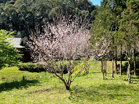 Cerejeira Templo Kinkaku-ji em Itapecerica da Serra