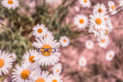 Daisy with horned rim glasses in field of daisies
