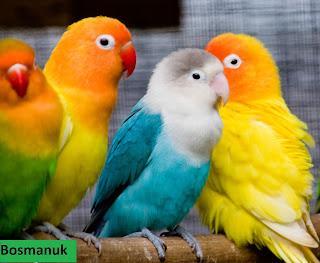 Daftar Harga burung lovebird terbaru 2017