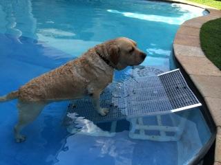 cães saindo de piscina