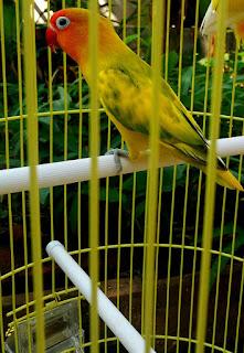 harga lovebird blorok green series