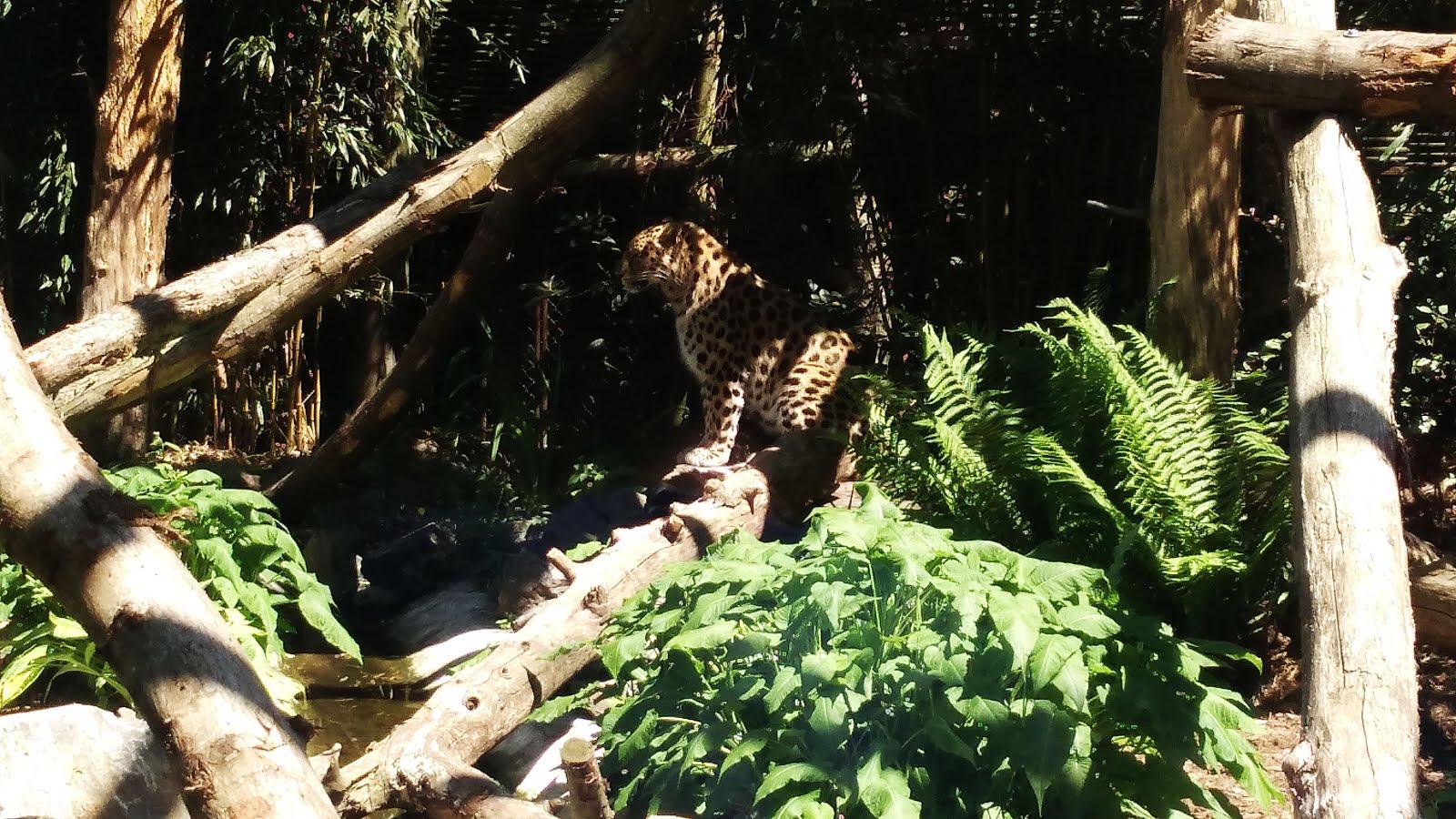 bellewaerde-parc-attraction-belgique-leopard