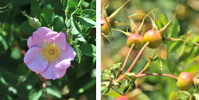 Rosa and rosehips