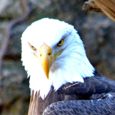 Bald Eagle Photo by Cynthia Sylvestermouse