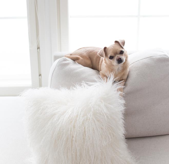 chihuahua, koira, sohvatyyny, olohuone