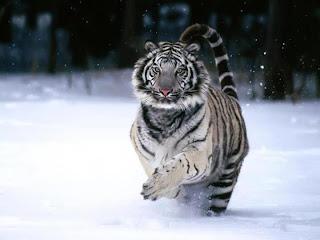 Tigre de Bengala 007