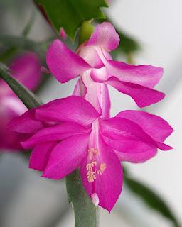 Cactus de Noël - Schlumbergera x buckleyi