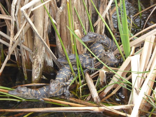 piccoli di alligatore alle everglades