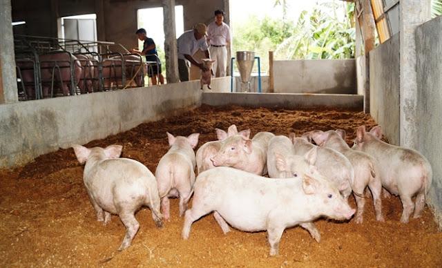 sử dụng đệm lót sinh học chăn nuôi biogasviet