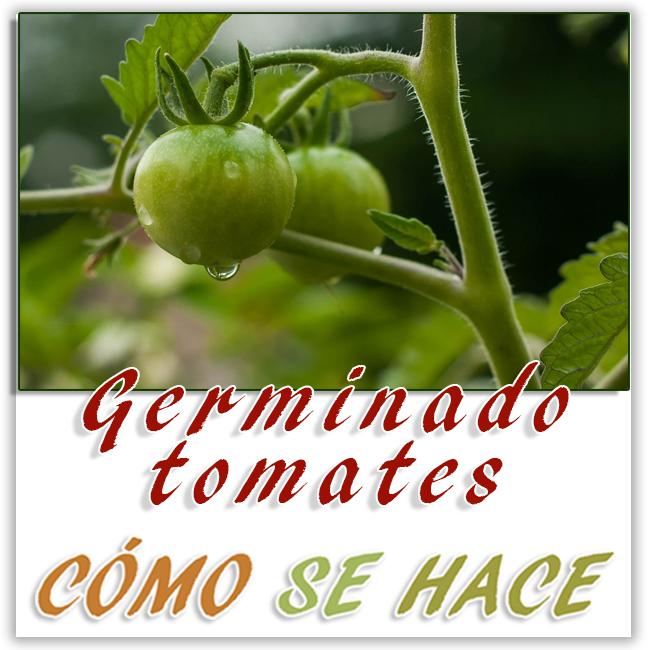 Germimar tomates a partir de semillas