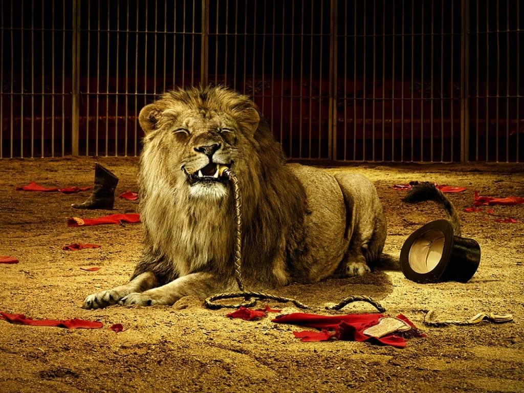 My top collection lion wallpaper - Lion wallpaper ...