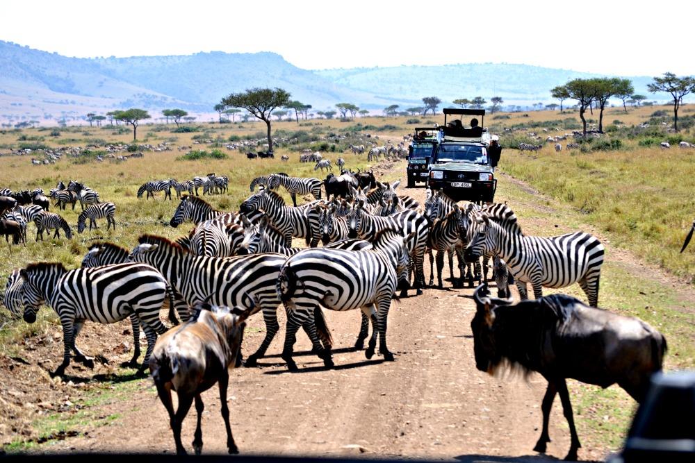 zebra in masai mara safari park