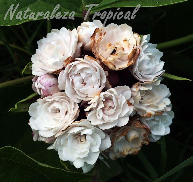 Floración característica de la planta ornamental llamada Jazmincillo, Clerodendrum chinense
