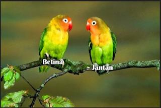 Cara Memilih Lovebird Untuk Lomba Jantan Atau Betina