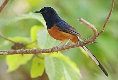 Kisaran Harga Terbaru Burung Murai Batu Saat Ini 2018 Terlengkap