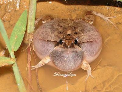 Physalaemus albonotatus