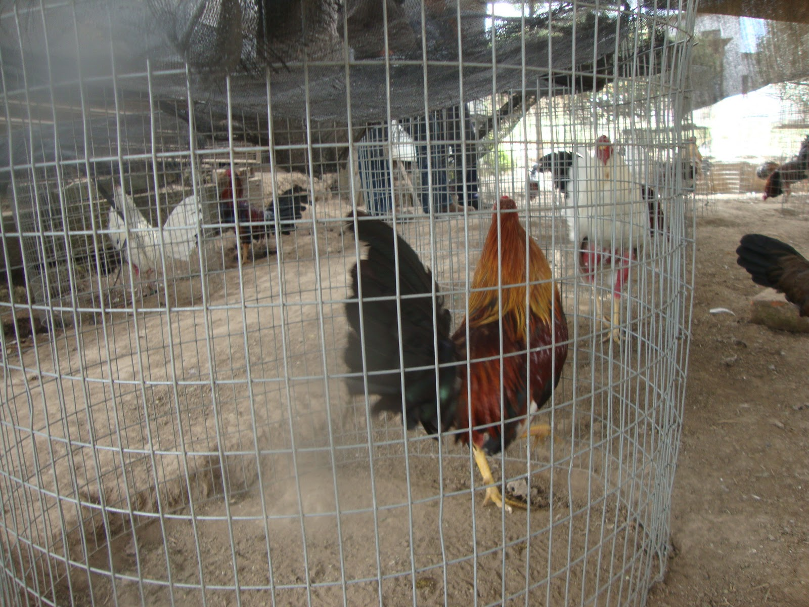 Gallo De Finos Mexico En S Peleas