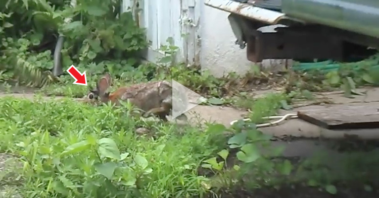 A man spotted a Rabbit with horns growing on its face