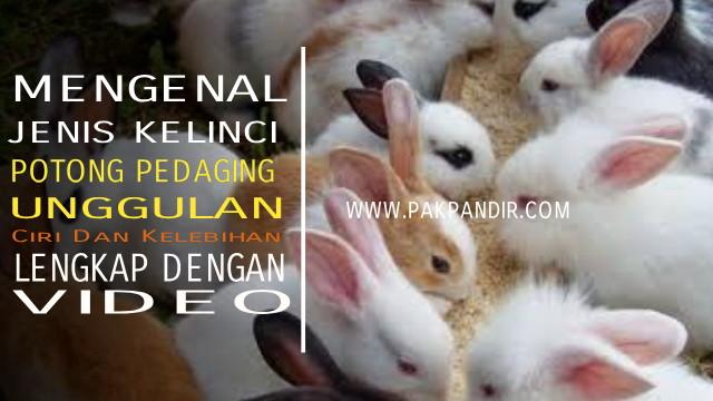 Kelinci Potong Kelinci Pedaging Ciri ciri Klinci Pedaging Lengkap Dengan Video