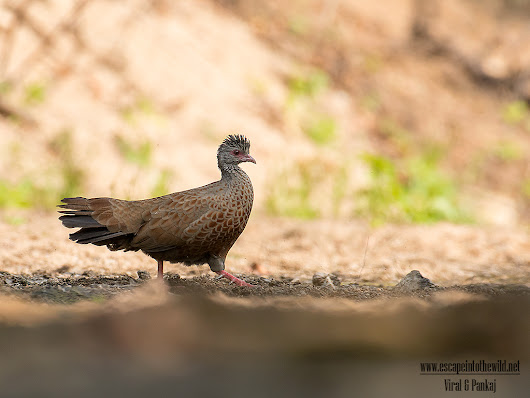 Red Spurfowl - the shy one | Escape into the wild