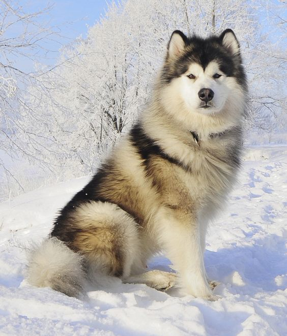 The Alaskan Malamute Dog Giant Arctic Canines The Pets Dialogue
